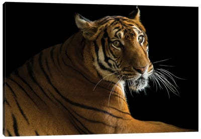 A Critically Endangered  Female South China Tiger At The Suzhou Zoo In China Canvas Art Print