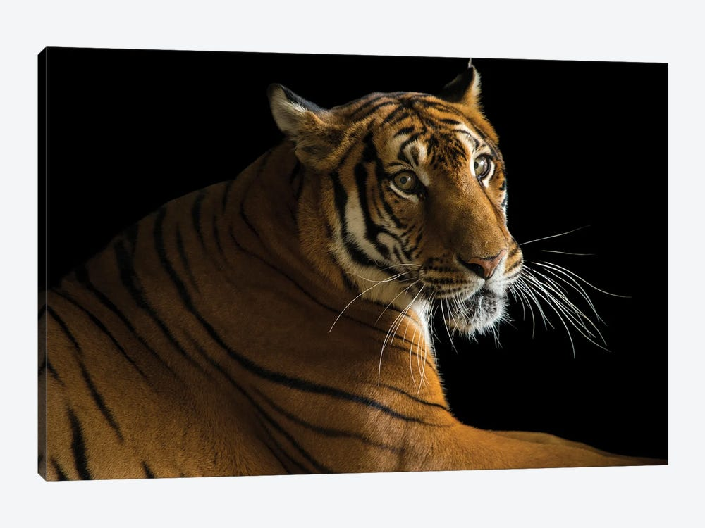 A Critically Endangered  Female South China Tiger At The Suzhou Zoo In China by Joel Sartore 1-piece Art Print