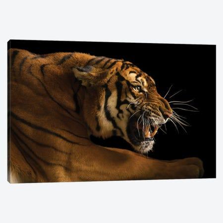A Critically Endangered  Female South China Tiger, Panthera Tigris Amoyensis, At The Suzhou Zoo In China Canvas Print #SRR44} by Joel Sartore Canvas Art