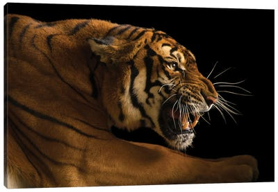 A Critically Endangered  Female South China Tiger, Panthera Tigris Amoyensis, At The Suzhou Zoo In China Canvas Art Print
