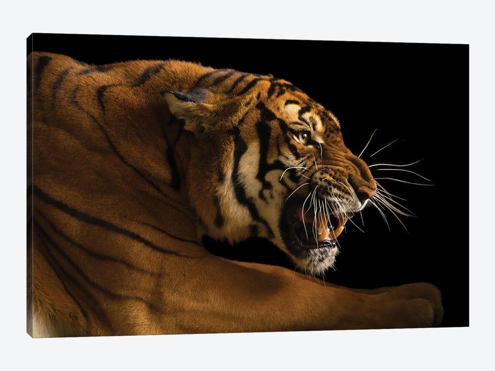 A Critically Endangered  Female South China Tiger, Panthera Tigris Amoyensis, At The Suzhou Zoo In China by Joel Sartore 1-piece Canvas Artwork
