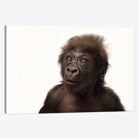 A Critically Endangered  Six-Week-Old Female Baby Gorilla At The Cincinnati Zoo I Canvas Print #SRR45} by Joel Sartore Canvas Art