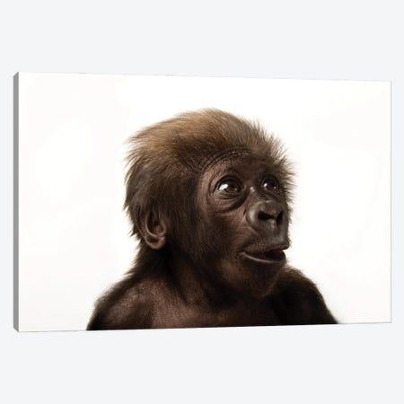 A Critically Endangered  Six-Week-Old Female Baby Gorilla At The Cincinnati Zoo II Canvas Print #SRR46} by Joel Sartore Canvas Art