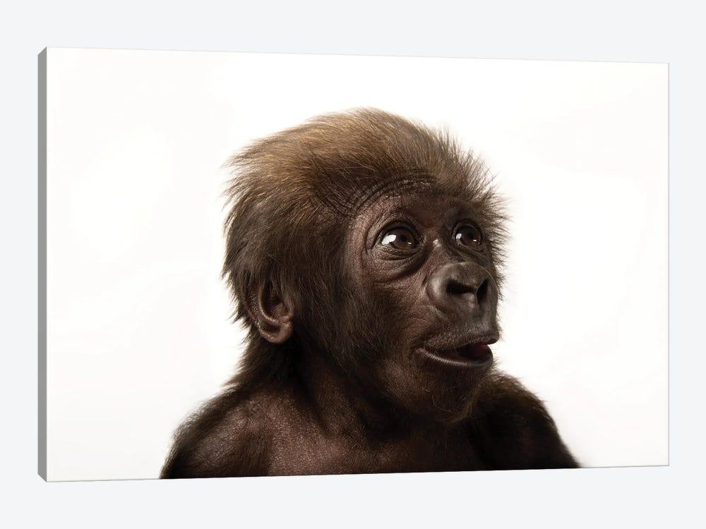 A Critically Endangered  Six-Week-Old Female Baby Gorilla At The Cincinnati Zoo II by Joel Sartore 1-piece Canvas Art