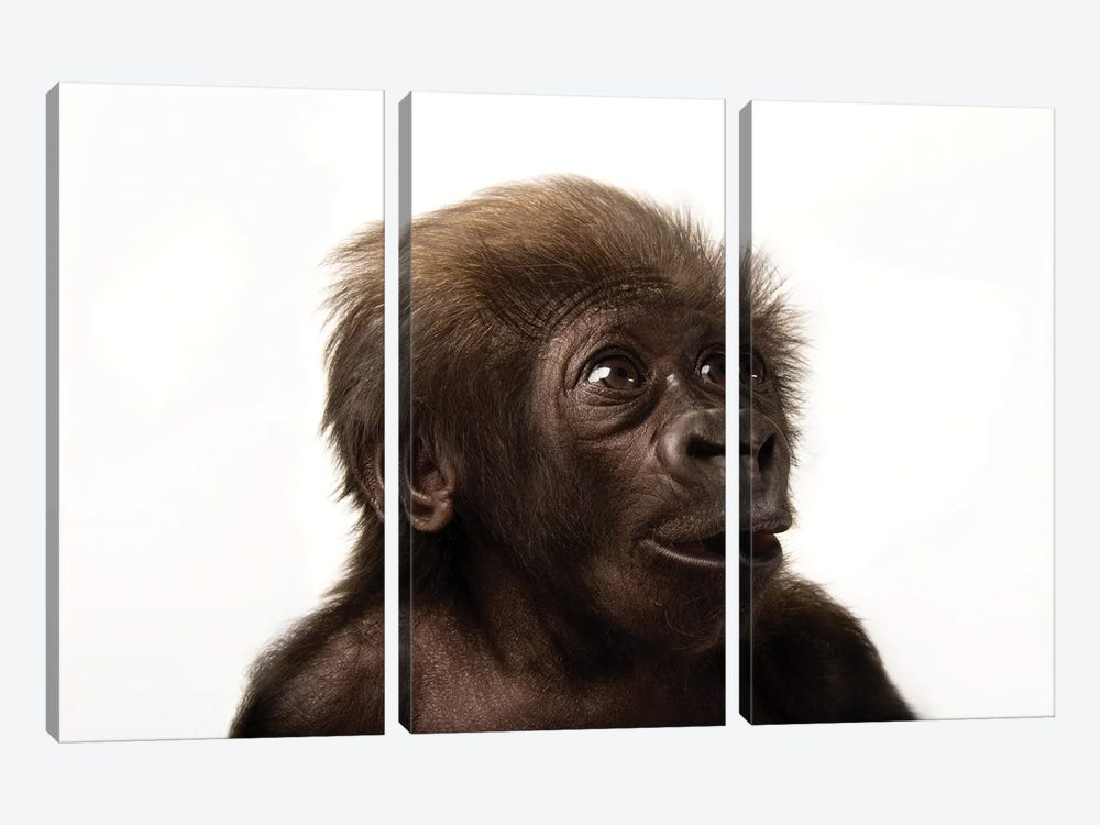 A Critically Endangered  Six-Week-Old Female Baby Gorilla At The Cincinnati Zoo II by Joel Sartore 3-piece Canvas Artwork