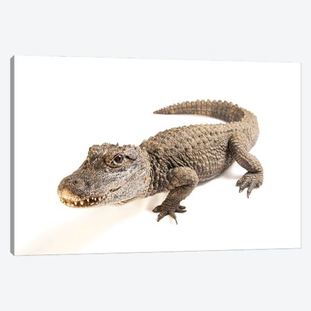 A Critically Endangered Chinese Alligator At The Fresno Chaffe Zoo Canvas Print #SRR48} by Joel Sartore Art Print