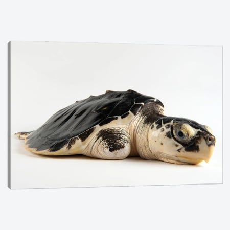 A Critically Endangered Kemp's Ridley Sea Turtle With An Injured Flipper At The Gladys Porter Zoo Canvas Print #SRR49} by Joel Sartore Canvas Print