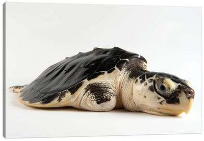 A Critically Endangered Kemp's Ridley Sea Turtle With An Injured Flipper At The Gladys Porter Zoo Canvas Art Print