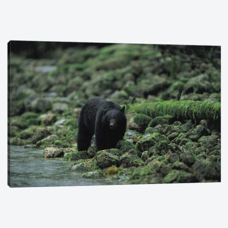 A Black Bear Fishing In Clayoquot Sound Canvas Print #SRR4} by Joel Sartore Canvas Wall Art
