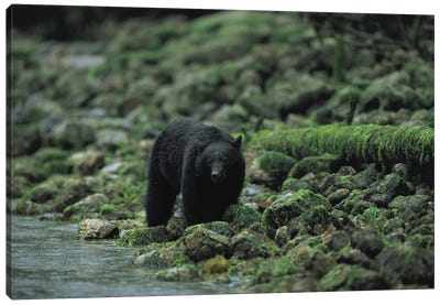 A Black Bear Fishing In Clayoquot Sound Canvas Art Print