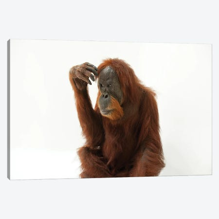 A Critically Endangered Sumatran Orangutan Named Susie, At The Gladys Porter Zoo Canvas Print #SRR50} by Joel Sartore Canvas Artwork