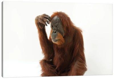A Critically Endangered Sumatran Orangutan Named Susie, At The Gladys Porter Zoo Canvas Art Print