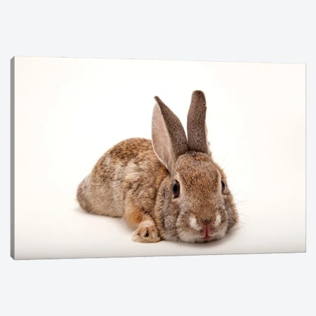 A Desert Cottontail Rabbit At Omaha's Henry Doorly Zoo And Aquarium Canvas Print #SRR52} by Joel Sartore Canvas Art