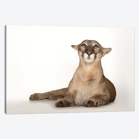 A Federally Endangered Florida Panther Named Lucy At Tampa's Lowry Park Zoo III Canvas Print #SRR57} by Joel Sartore Canvas Art Print
