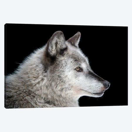 A Federally Endangered Gray Wolf At The Alaska Zoo Canvas Print #SRR58} by Joel Sartore Canvas Wall Art