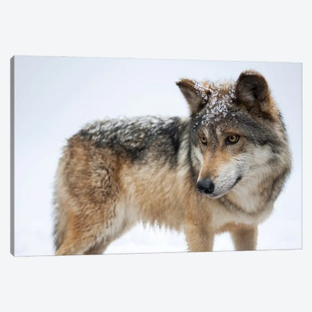 A Federally Endangered Mexican Gray Wolf At The Wild Canid Survival And Research Center Canvas Print #SRR59} by Joel Sartore Canvas Art