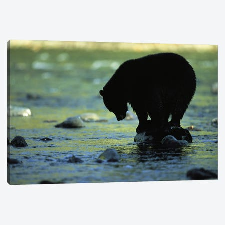 A Black Bear Perches On A Rock Watching For Fish In Clayoquot Sound Canvas Print #SRR5} by Joel Sartore Canvas Art