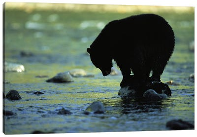 A Black Bear Perches On A Rock Watching For Fish In Clayoquot Sound Canvas Art Print