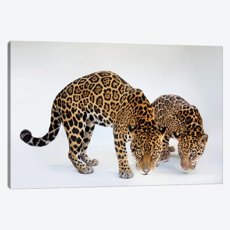 A Federally Endangered Mother And Son Jaguar At The Brevard Zoo In Melbourne, Florida Canvas Print #SRR60} by Joel Sartore Canvas Print
