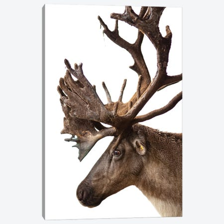 A Federally Endangered Woodland Caribou At New York State Zoo I Canvas Print #SRR61} by Joel Sartore Canvas Art Print