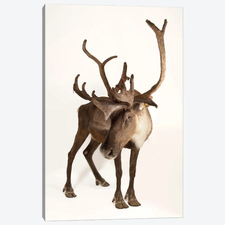 A Federally Endangered Woodland Caribou At New York State Zoo II Canvas Print #SRR62} by Joel Sartore Canvas Print