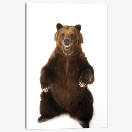 A Federally Threatened Grizzly Bear At Sedgwick County Zoo Canvas Print #SRR64} by Joel Sartore Canvas Wall Art