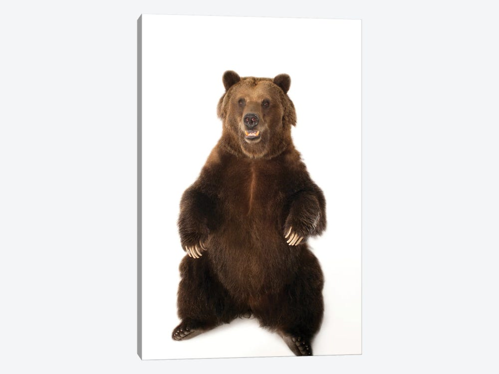 A Federally Threatened Grizzly Bear At Sedgwick County Zoo by Joel Sartore 1-piece Canvas Wall Art