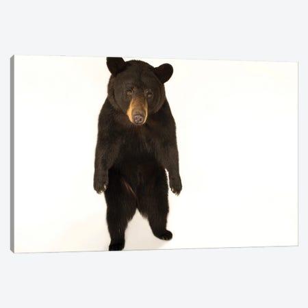 A Federally Threatened Louisiana Black Bear At The Caldwell Zoo In Tyler, Texas Canvas Print #SRR66} by Joel Sartore Canvas Art