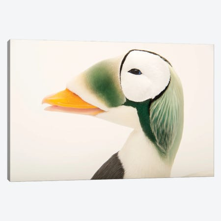 A Federally Threatened Male Spectacled Eider At The Alaska Sealife Center Canvas Print #SRR67} by Joel Sartore Canvas Wall Art