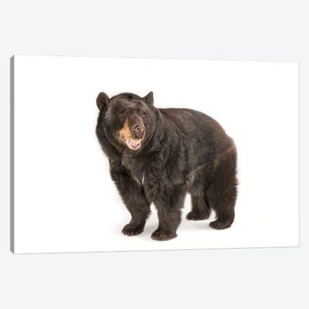 A Federally Threatened North American Black Bear At Omaha Zoo's Wildlife Safari Park Canvas Print #SRR68} by Joel Sartore Art Print