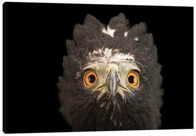 A Black Hawk-Eagle Or Tyrant Hawk-Eagle At Parque Jaime Duque Near Bogota, Colombia Canvas Art Print