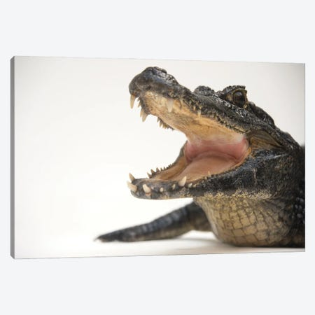 A Federally Threatened Yacare Caiman At The St Augustine Alligator Farm Canvas Print #SRR70} by Joel Sartore Canvas Artwork