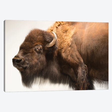 A Female American Bison Named Mary Ann At The Oklahoma City Zoo Canvas Print #SRR71} by Joel Sartore Canvas Artwork