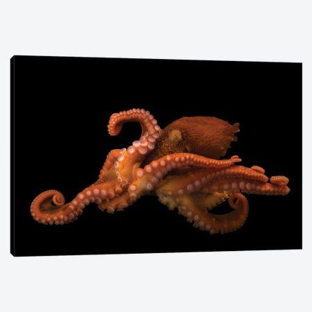 A Female Giant Pacific Octopus At The Alaska Sealife Center In Seward, AK I Canvas Print #SRR72} by Joel Sartore Canvas Art