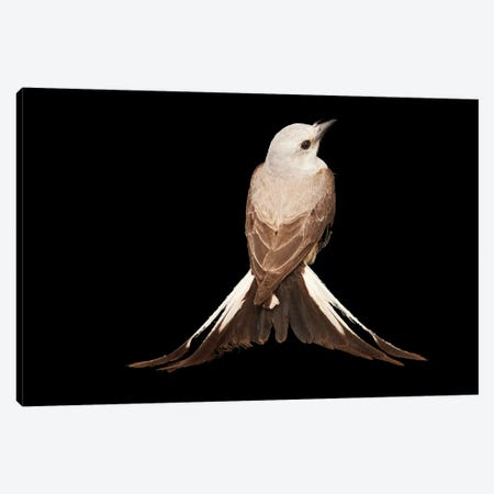 A Female Scissor-Tailed Flycatcher At The Wichita Mountains National Wildlife Refuge Canvas Print #SRR74} by Joel Sartore Canvas Art Print