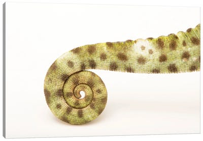 A Female Usambara Three-Horned Chameleon From A Private Collection Canvas Art Print
