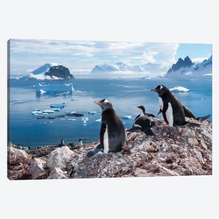 A Gentoo Penguin Colony On Danco Island, Antarctica Canvas Print #SRR82} by Joel Sartore Canvas Art Print
