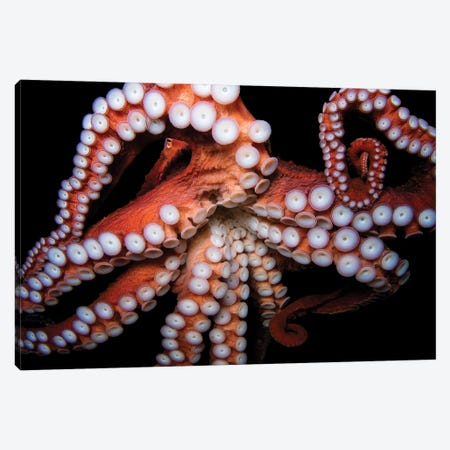 A Giant Pacific Octopus At The Dallas World Aquarium Canvas Print #SRR83} by Joel Sartore Canvas Print