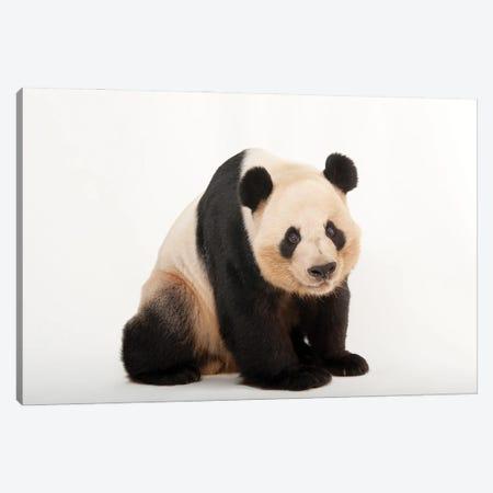 A Giant Panda At Zoo Atlanta III Canvas Print #SRR86} by Joel Sartore Canvas Wall Art