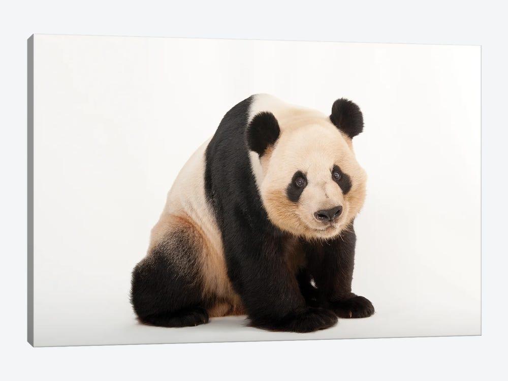 A Giant Panda At Zoo Atlanta III by Joel Sartore 1-piece Canvas Art