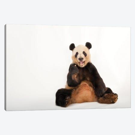 A Giant Panda At Zoo Atlanta IV Canvas Print #SRR87} by Joel Sartore Canvas Artwork