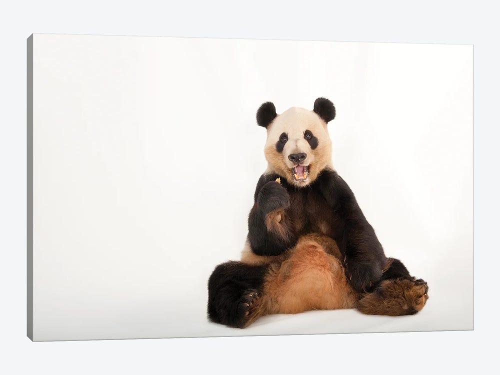 A Giant Panda At Zoo Atlanta IV by Joel Sartore 1-piece Canvas Art Print