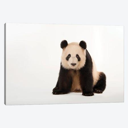A Giant Panda At Zoo Atlanta V Canvas Print #SRR88} by Joel Sartore Canvas Art Print