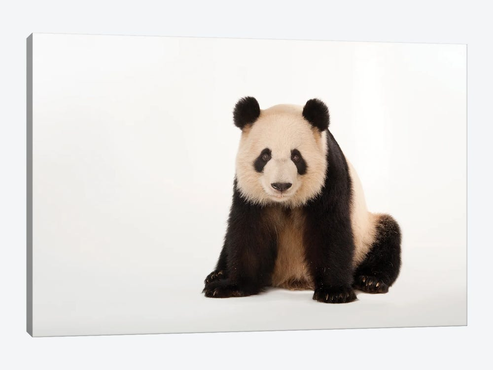 A Giant Panda At Zoo Atlanta V by Joel Sartore 1-piece Canvas Artwork