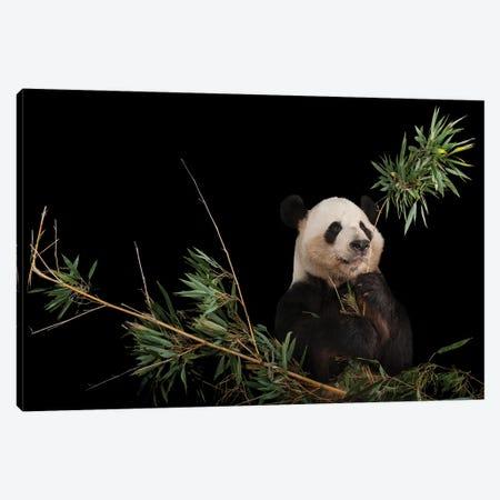 A Giant Panda At Zoo Atlanta VI Canvas Print #SRR89} by Joel Sartore Canvas Print