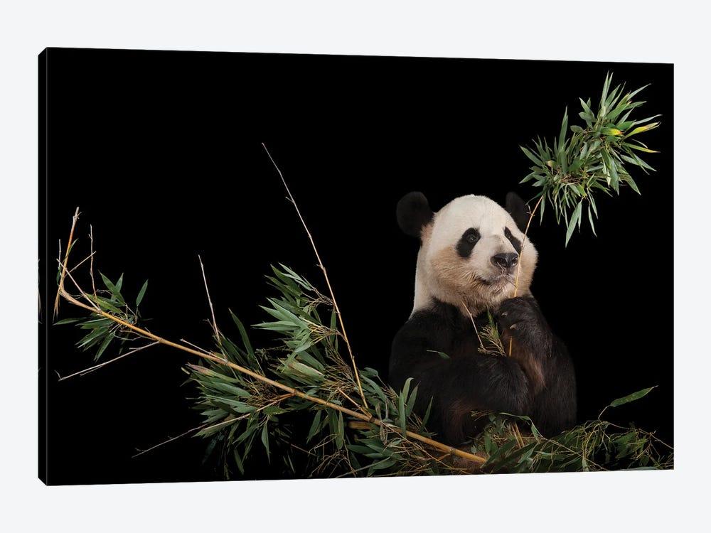 A Giant Panda At Zoo Atlanta VI by Joel Sartore 1-piece Art Print