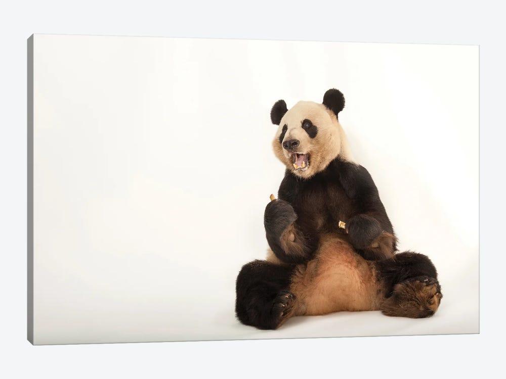 A Giant Panda At Zoo Atlanta VII by Joel Sartore 1-piece Canvas Art Print