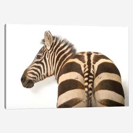 A Zebra Named Mugambi, At The Cheyenne Mountain Zoo Canvas Print #SRR92} by Joel Sartore Canvas Artwork