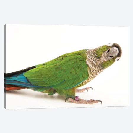 A Green-Cheeked Conure From A Private Collection Canvas Print #SRR93} by Joel Sartore Canvas Wall Art