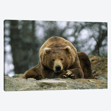 A Grizzly Bear At Rest On The Edge Of The Larson Bay Dump Canvas Print #SRR95} by Joel Sartore Canvas Art Print